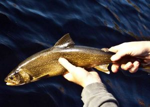 Lake trout release