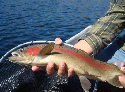rainbow fish at Blue Lake Camp - trout fishing lodge on Lake Kirkpatrick