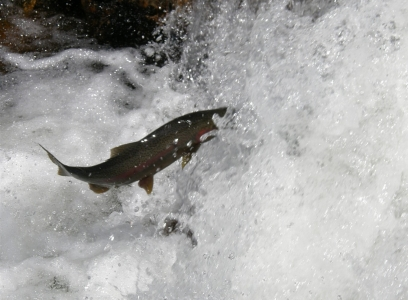 Rainbow trout in Blue Fox creek